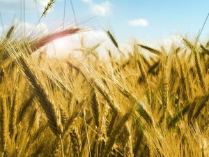 Grains in a field behind a blue sky