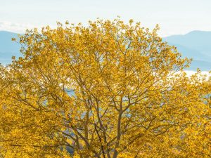 A tree with yellow leaves in front of a mountain view